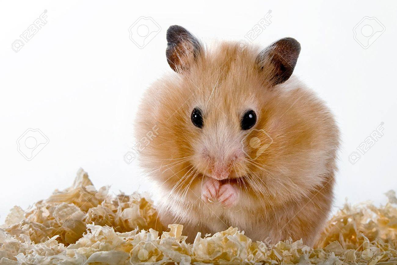 Beige hamster with sawdust on a white background Standard-Bild - 14432317