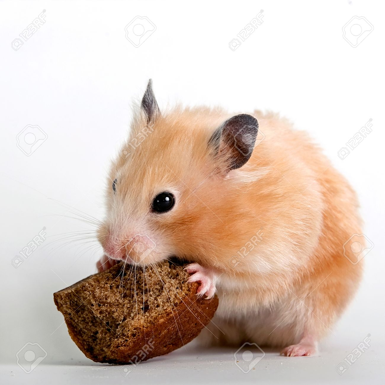 Beige hamster with a bread crust on a white background Standard-Bild - 14432320