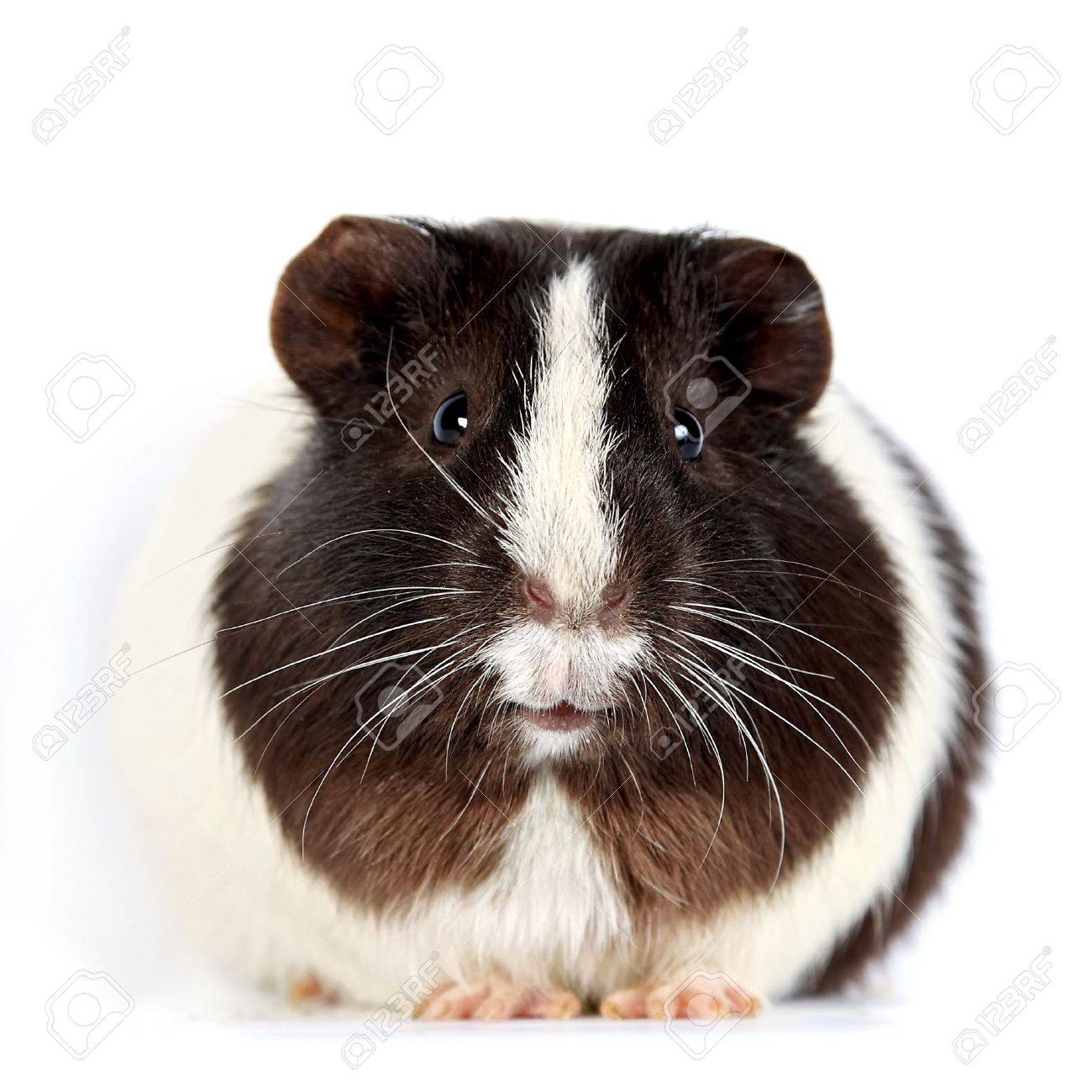 Brown-white curious guinea pigs on a white background Standard-Bild - 14432318