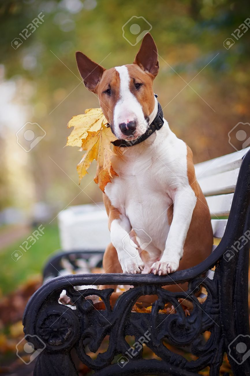 The red bull terrier sits on a bench in the autumn afternoon Standard-Bild - 15661546