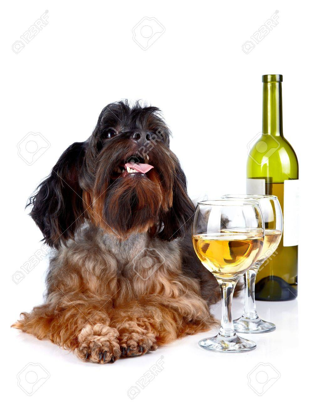 Dog with a wine glass  Small dog  Decorative thoroughbred dog  Puppy of the Petersburg orchid  Shaggy dog Standard-Bild - 18724730
