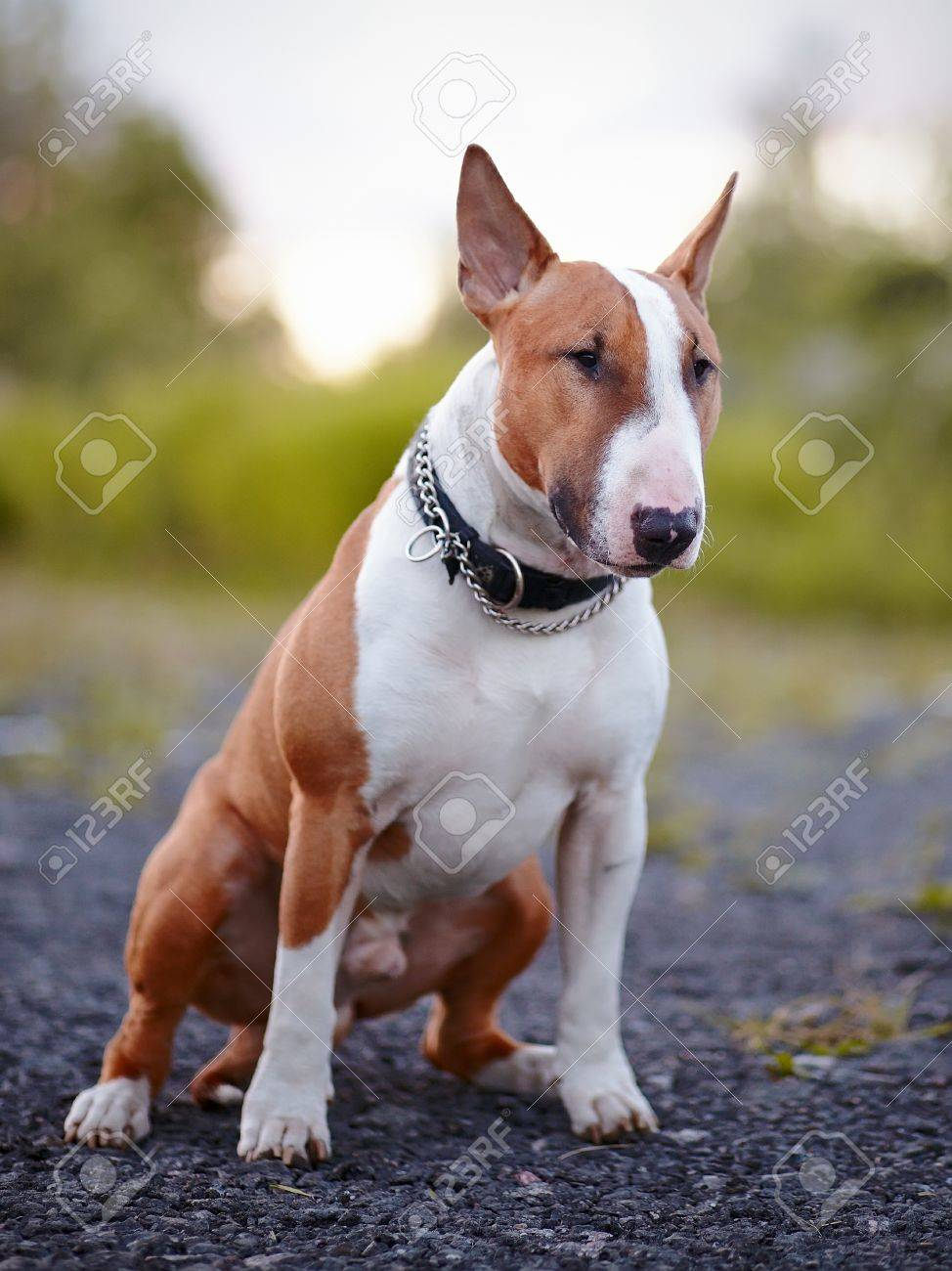 English bull terrier Thoroughbred dog Canine friend Red dog