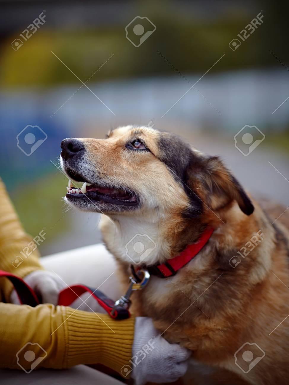 Portrait of a red not purebred dog. Not purebred dog. Doggie on walk. The large not purebred mongrel. Standard-Bild - 24387835