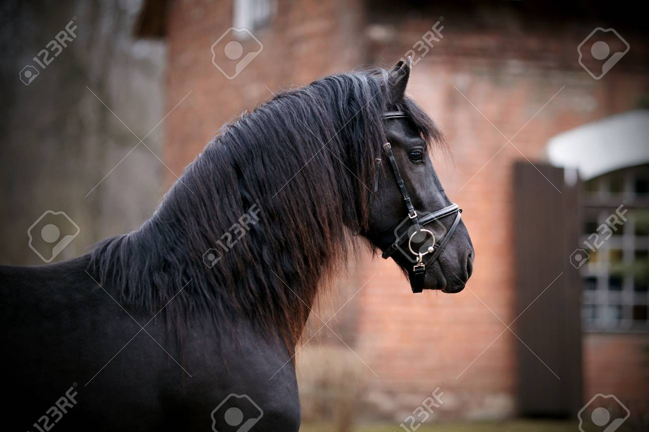 Black Stallion Portrait Of A Sports Black Horse Thoroughbred Stock Photo Picture And Royalty Free Image Image 27576430