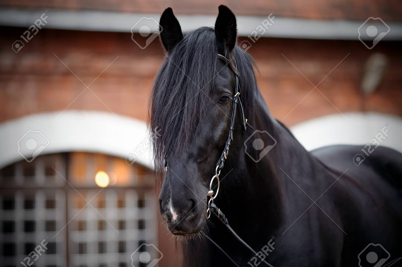 Black Stallion Portrait Of A Black Horse Thoroughbred Horse Stock Photo Picture And Royalty Free Image Image 28499961