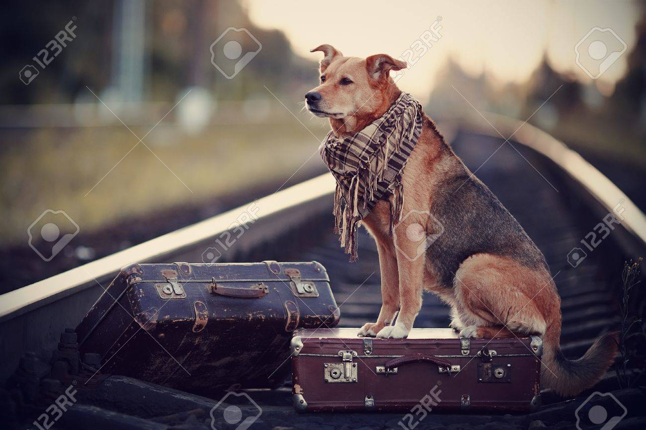 Dog on rails with suitcases. The dog looks for the house. The dog waits for the owner. The lost dog. Mongrel on the road. Dog on rails. Dog with suitcases. Not purebred dog on the road. Traveler. Vagrant dog. Tramp. Standard-Bild - 34689718