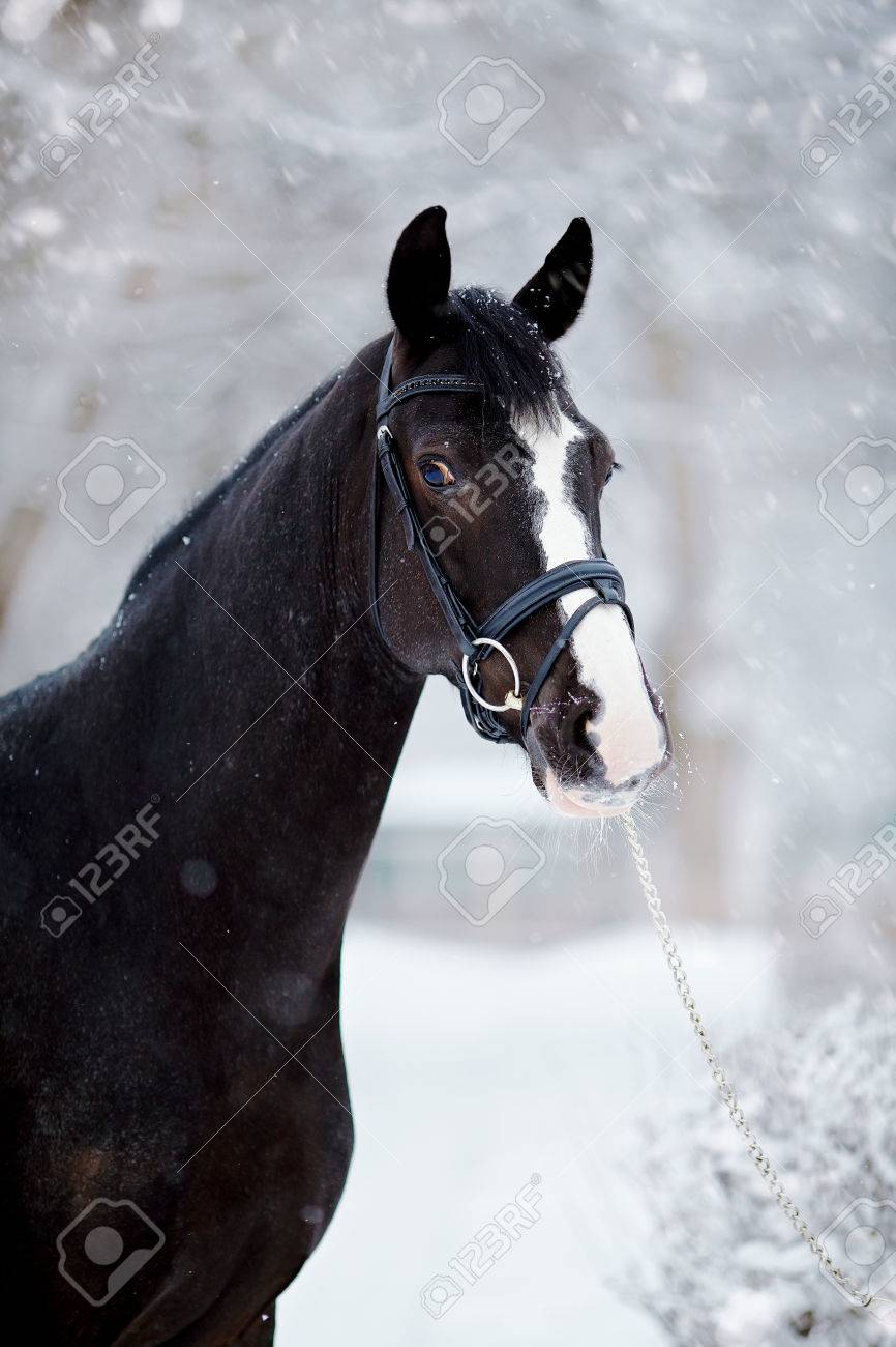 Portrait Of A Sports Stallion Thoroughbred Horse Beautiful Stock Photo Picture And Royalty Free Image Image 35064358