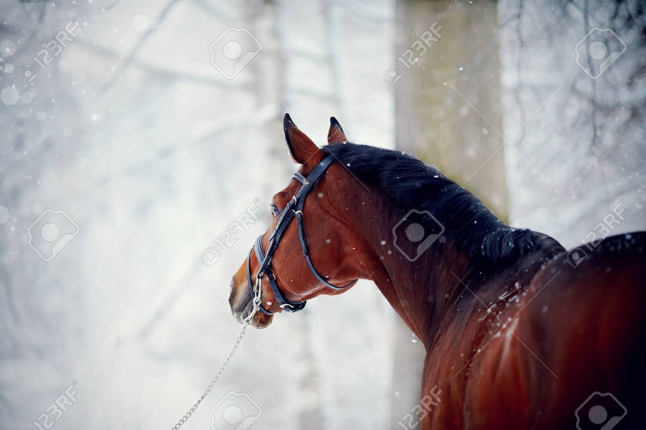 Portrait Of A Sports Stallion Thoroughbred Horse Beautiful Stock Photo Picture And Royalty Free Image Image 35553431