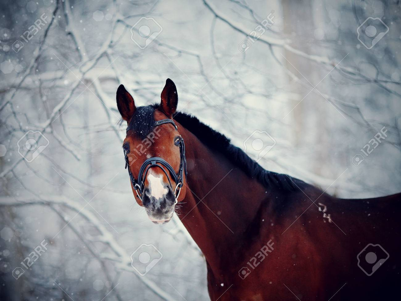 Portrait Of A Sports Stallion Thoroughbred Horse Beautiful Stock Photo Picture And Royalty Free Image Image 35716013
