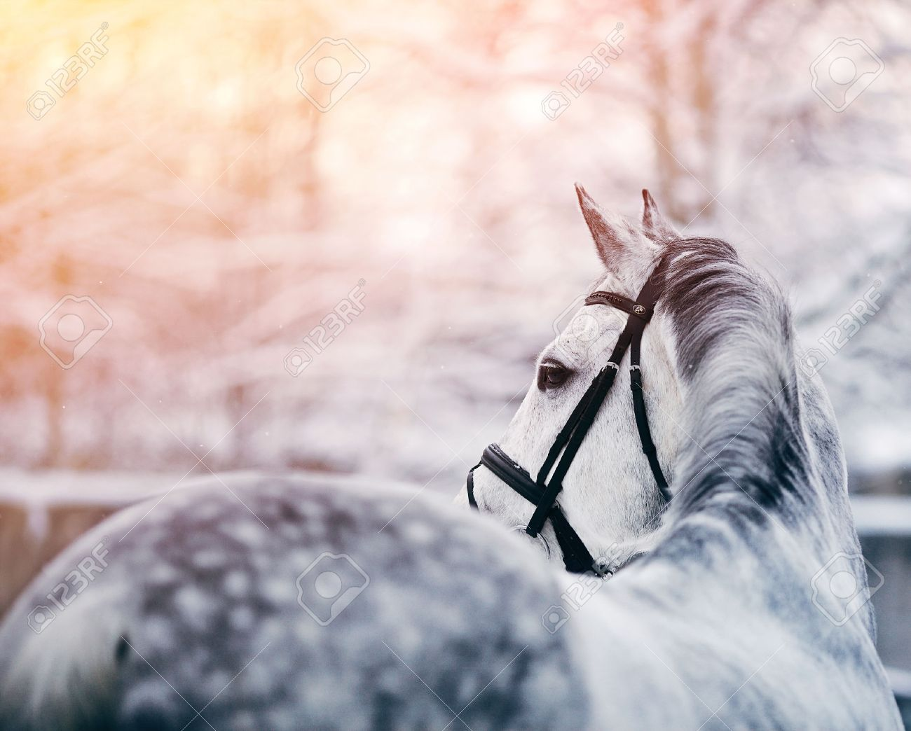 Portrait of a gray sports horse in the winter at sunset. Portrait of a sports stallion. Thoroughbred horse. Beautiful horse. Standard-Bild - 36847479