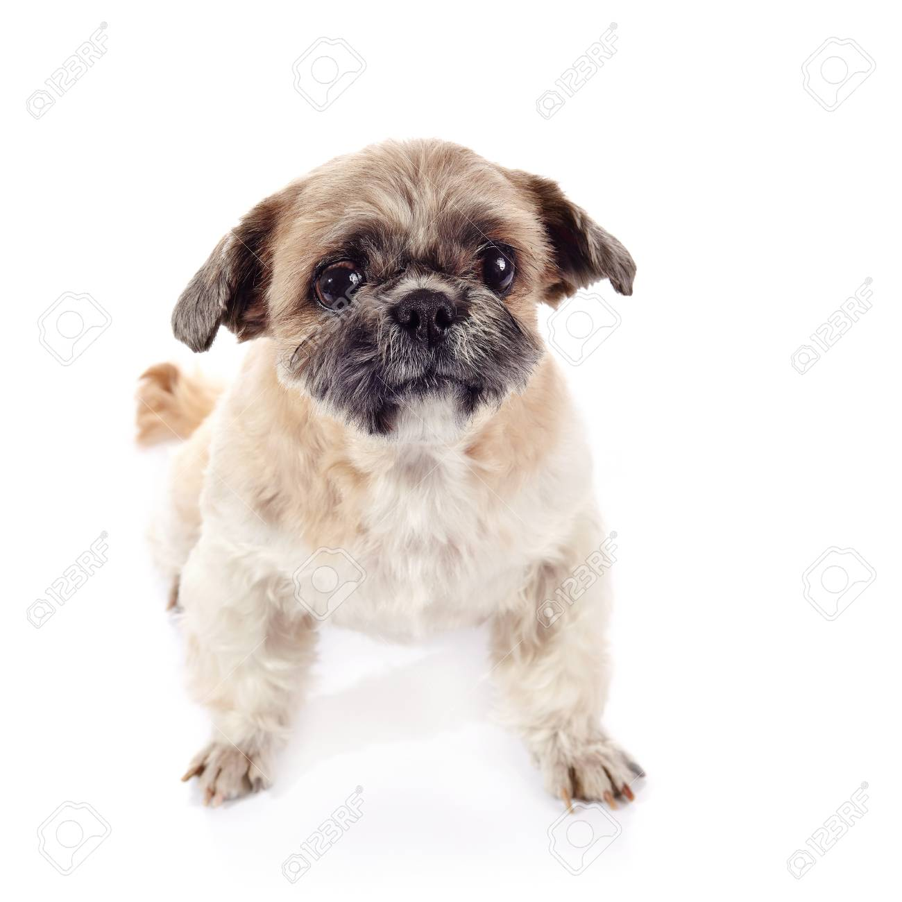 Small Beige Of Breed Of A Shih Tzu Stock Photo Picture And Royalty