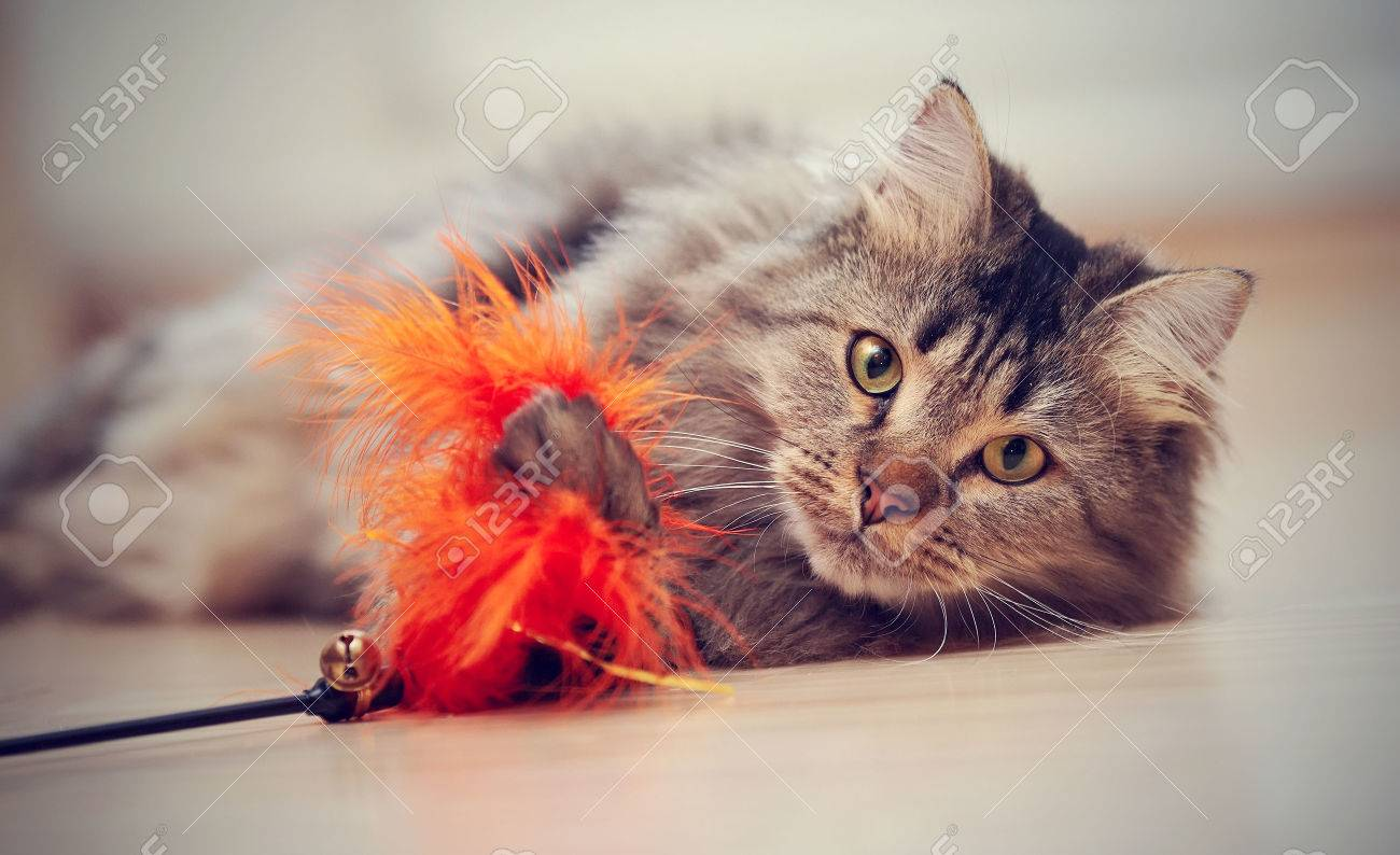 The fluffy striped domestic cat plays with a toy. Standard-Bild - 38464192