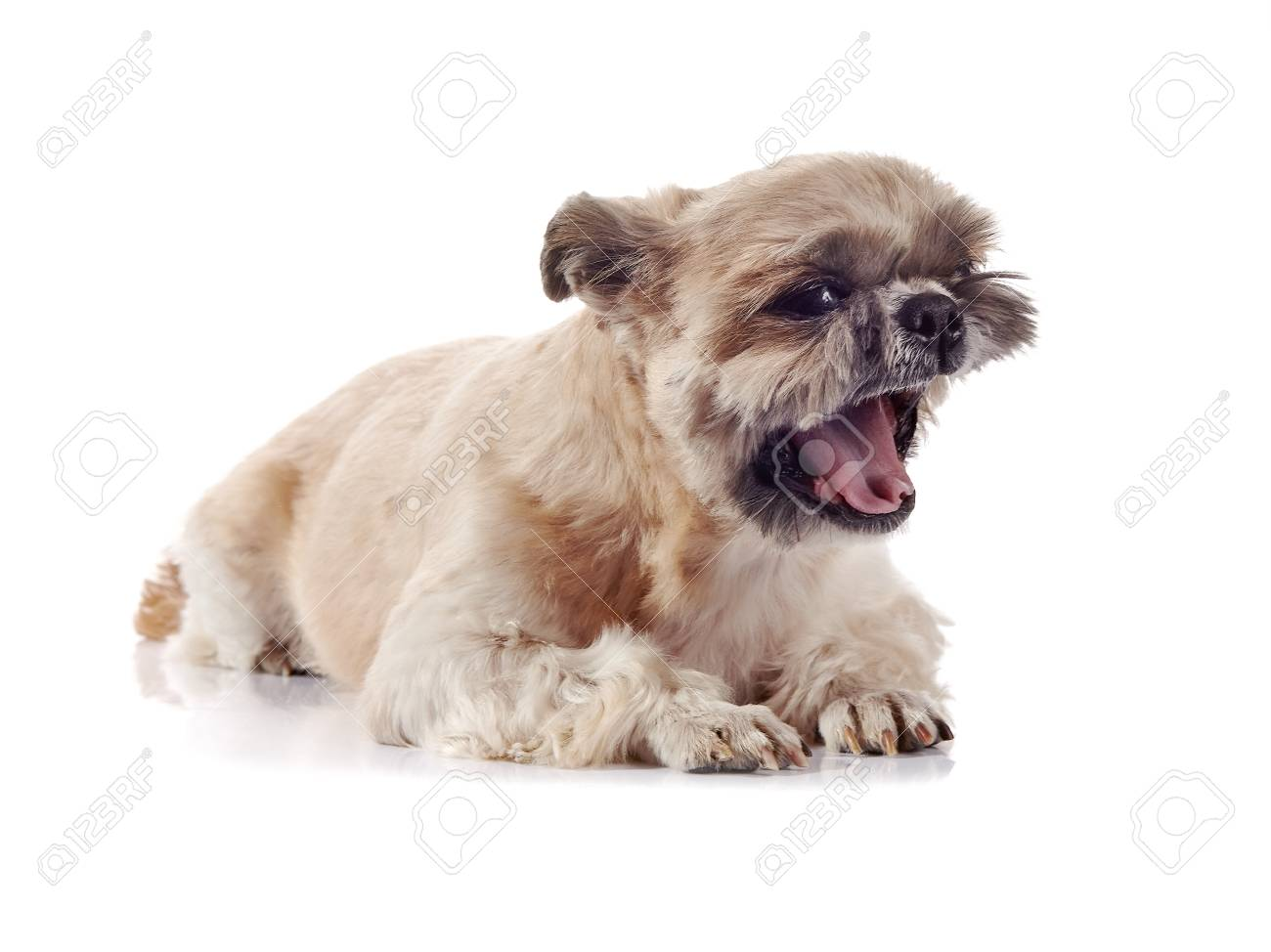 Small Beige Doggie Of Breed Of A Shih Tzu Stock Photo Picture And
