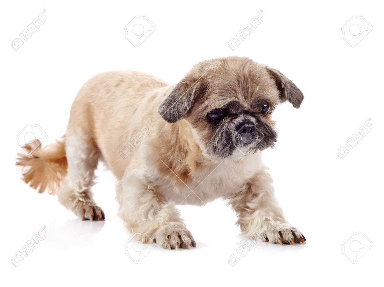 The Decorative Amusing Small Beige Doggie Of Breed Of A Shih Tzu