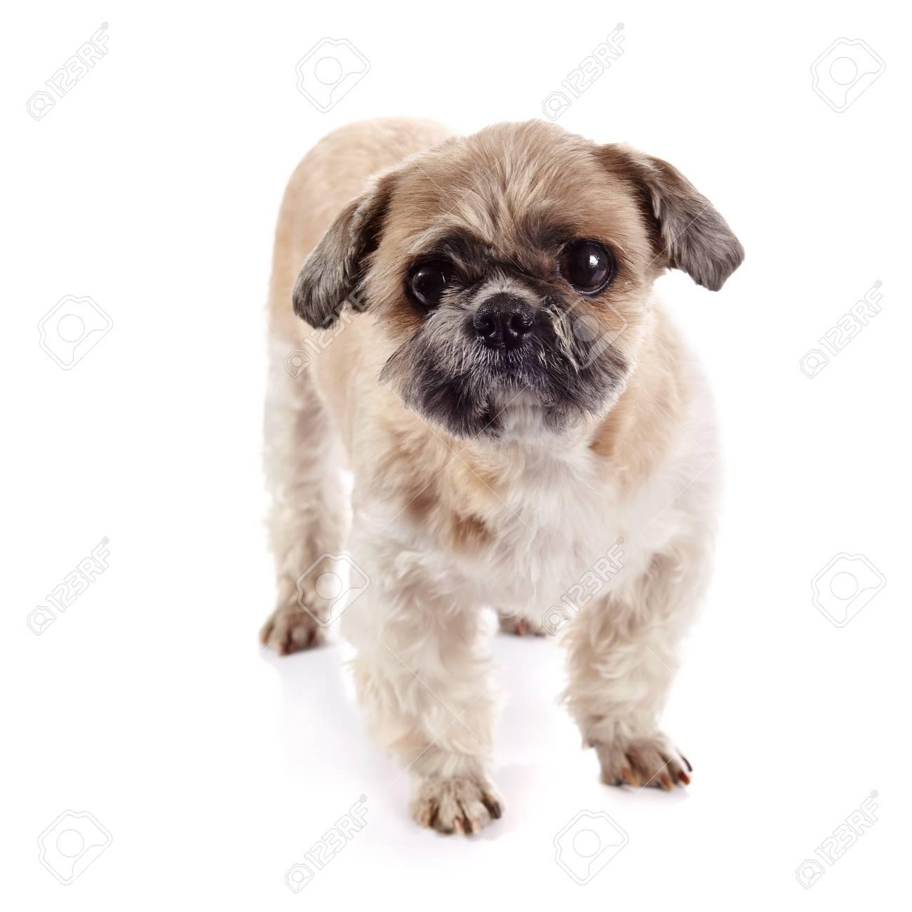 Decorative Amusing Small Beige Doggie Of Breed Of A Shih Tzu Stock