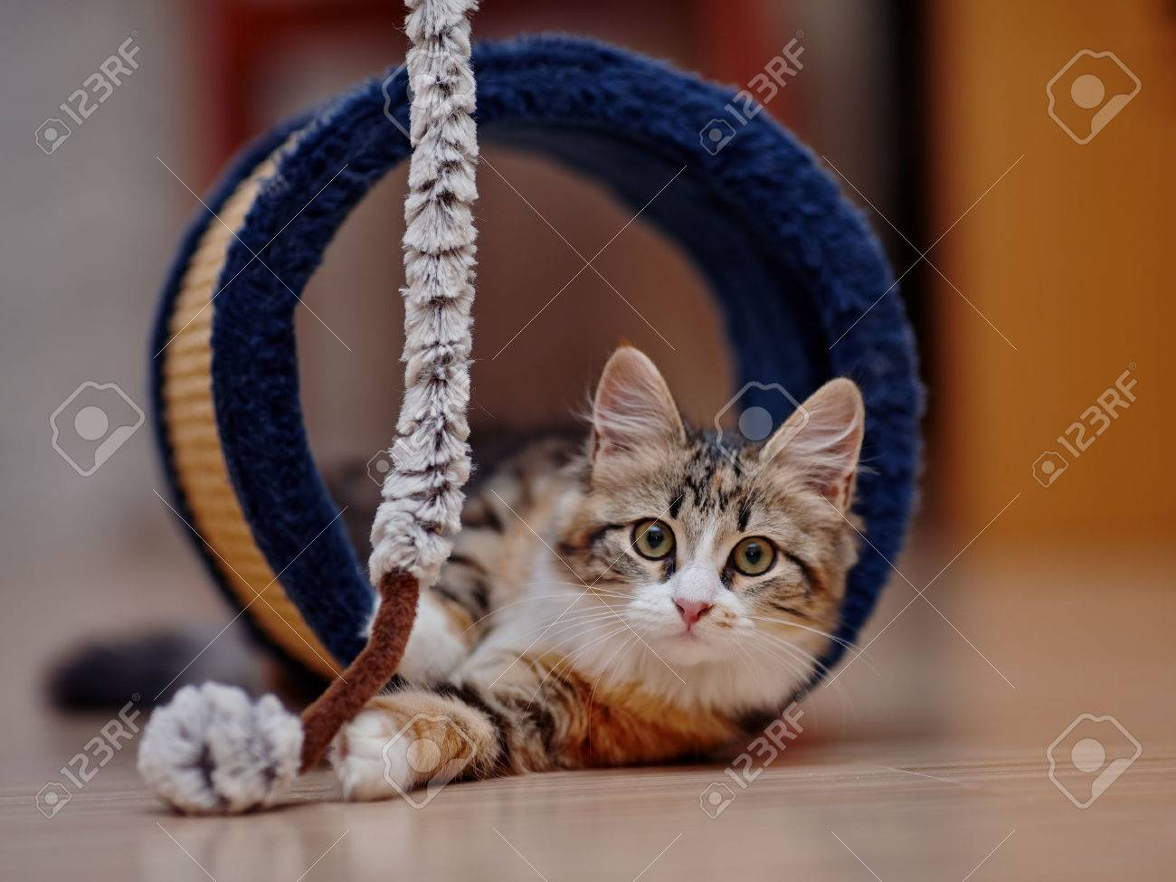 The domestic kitten of a multi-colored color plays on a floor. Standard-Bild - 47469484