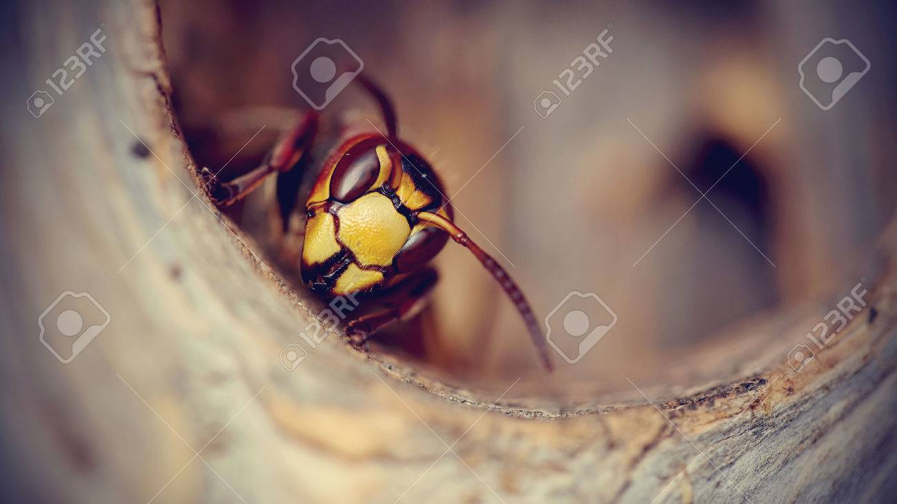 Portrait of a big wasp - a hornet protects an entrance to a nest. Standard-Bild - 48863390