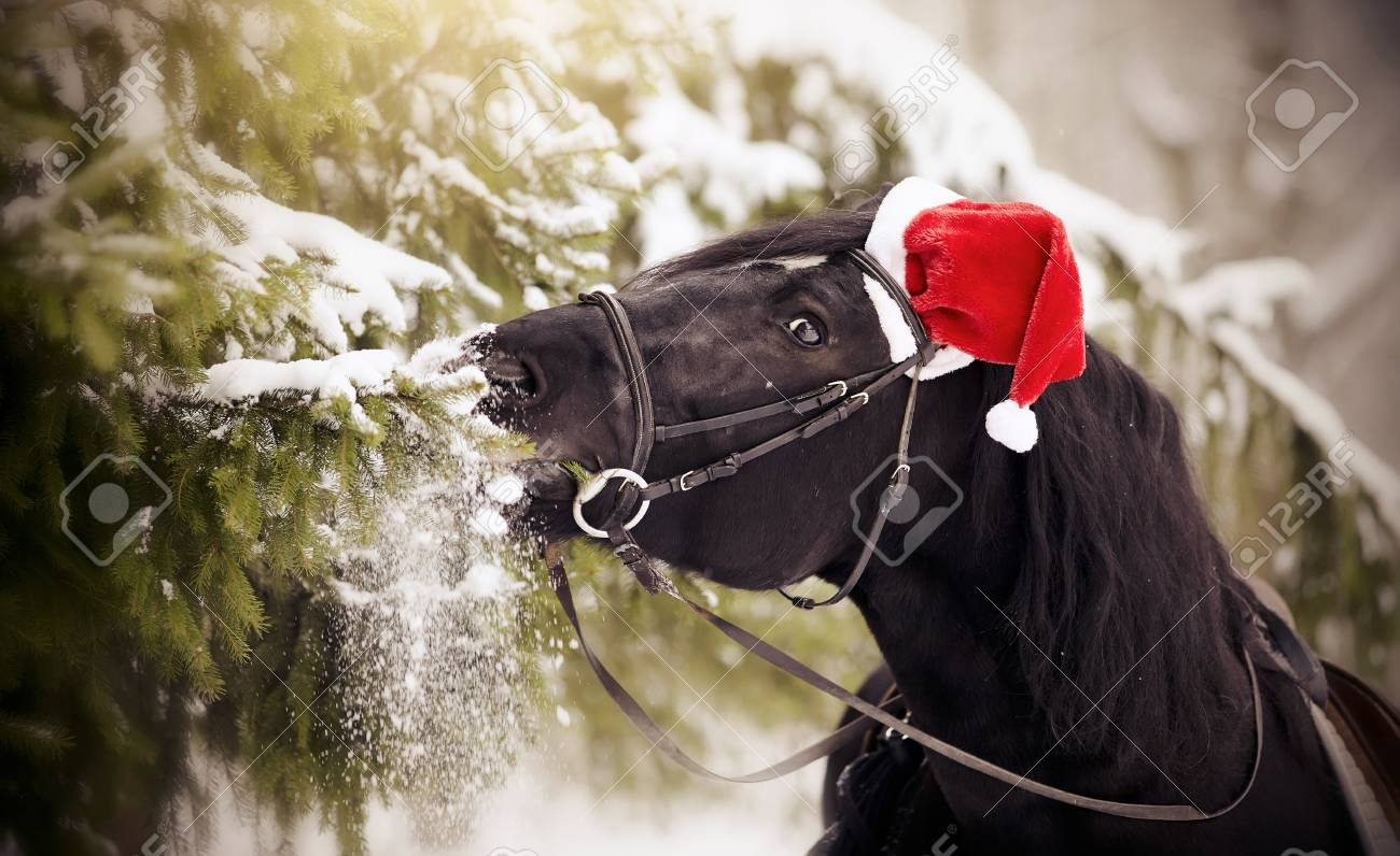 Black sports horse horse in a red Santa Claus hat eats fir-tree branches  Stock feff8cd082ba