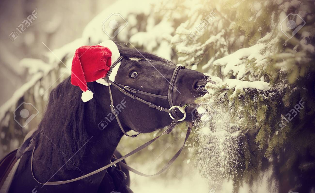 Black sports horse in a red Santa Claus hat eats fir-tree branches Stock  Photo 3fd7010cf28e