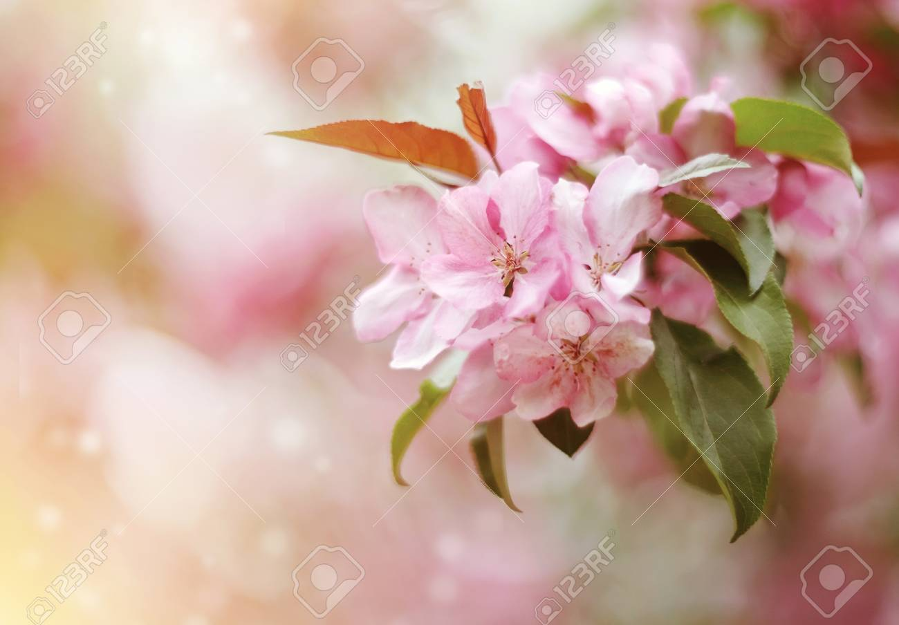 Pale Pink Flowers Of Apple In Spring Stock Photo Picture And