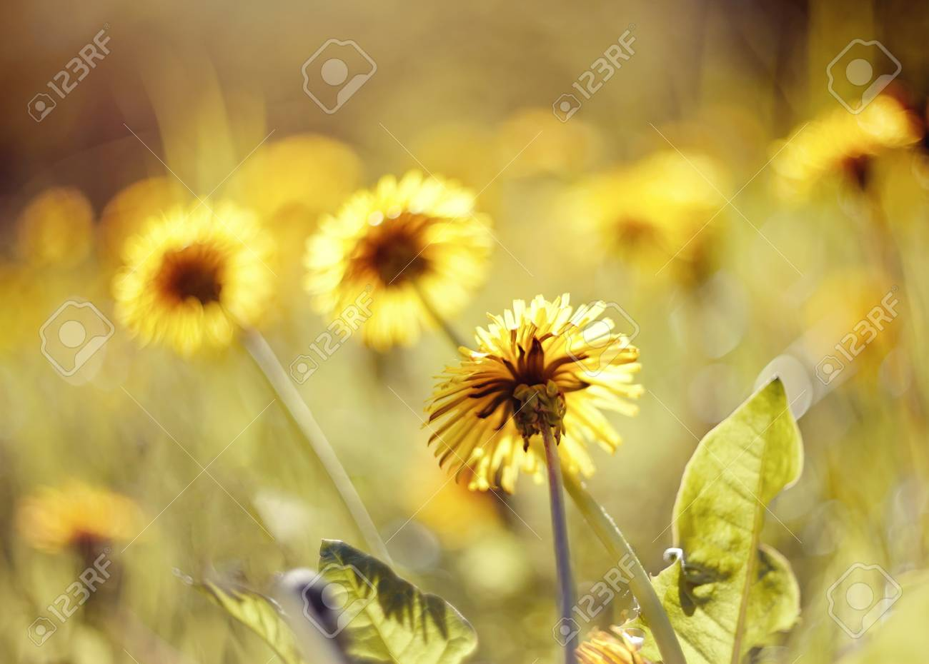 Yellow Summer Weed Flowers In The Field Dandelions Stock Photo