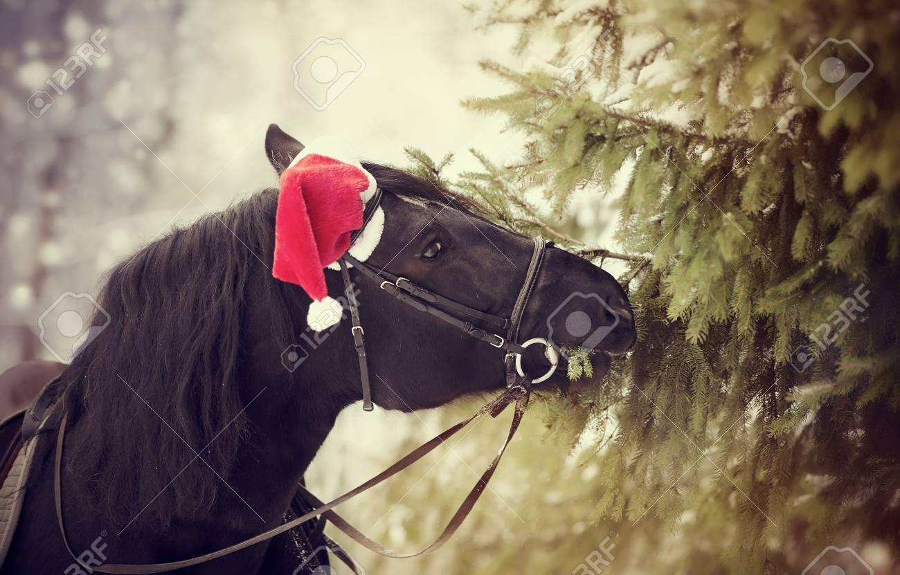 Black horse in a red Santa Claus hat eats fir-tree branches Stock Photo - 4d91df953a7a