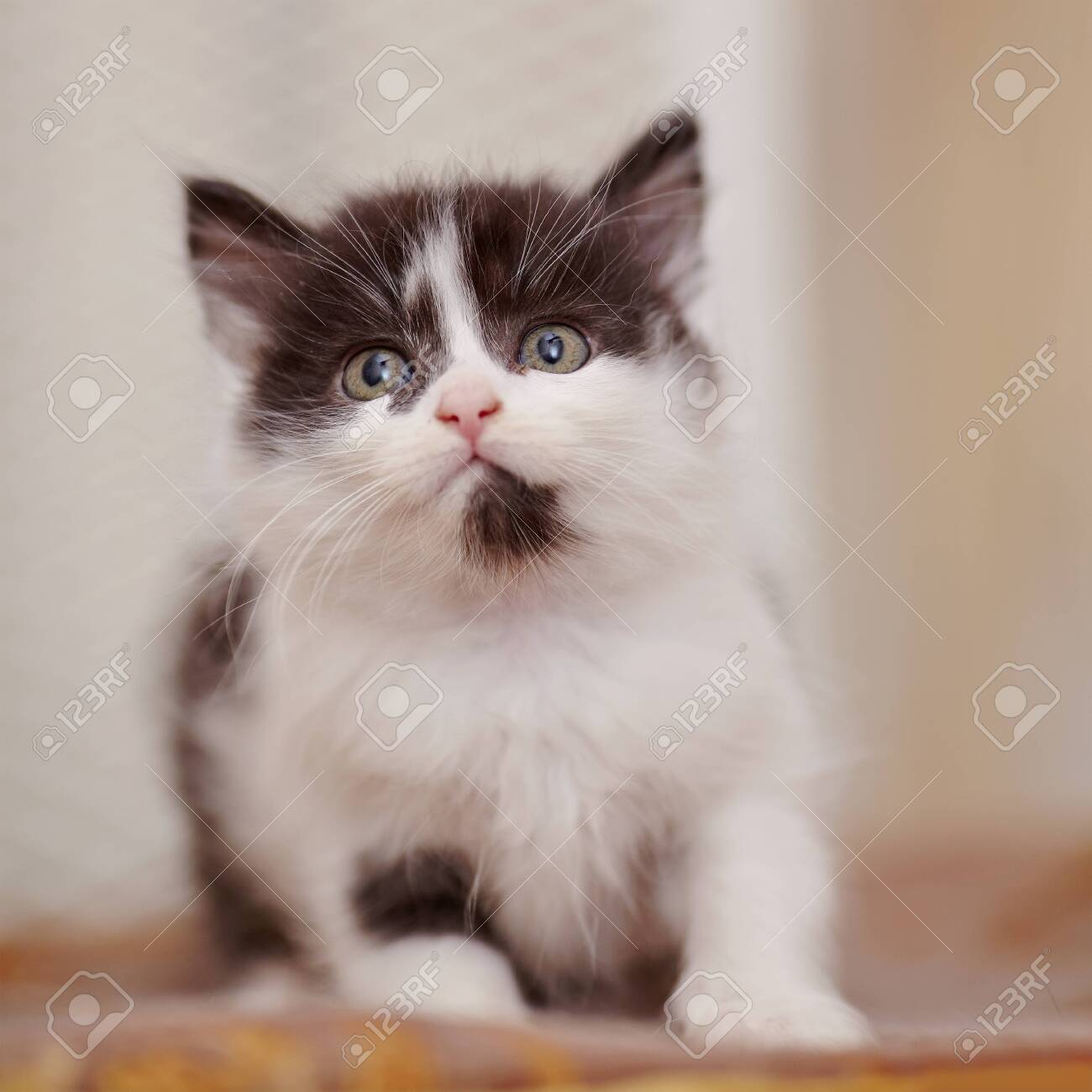 Little domestic kitten of a color, white with black spots - 120601146