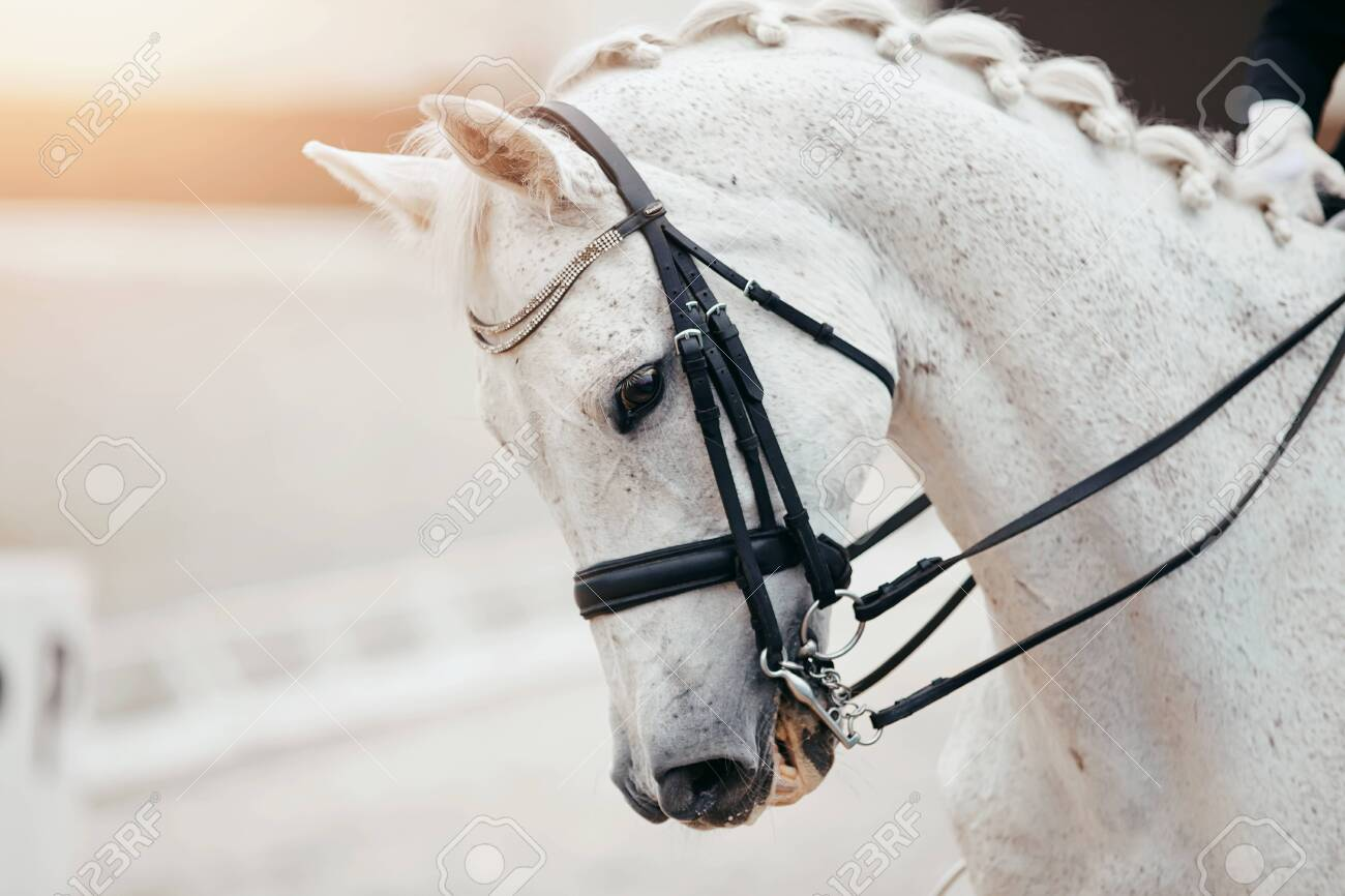 Equestrian Sport Portrait Sports Gray Stallion In The Double Stock Photo Picture And Royalty Free Image Image 126293539