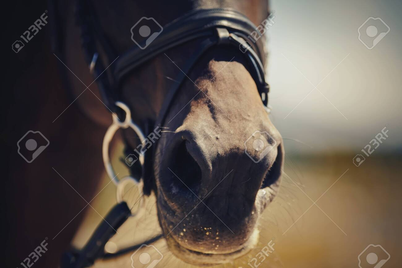 Nose sports brown horse in the bridle. Dressage horse. Equestrian sport. - 127791516