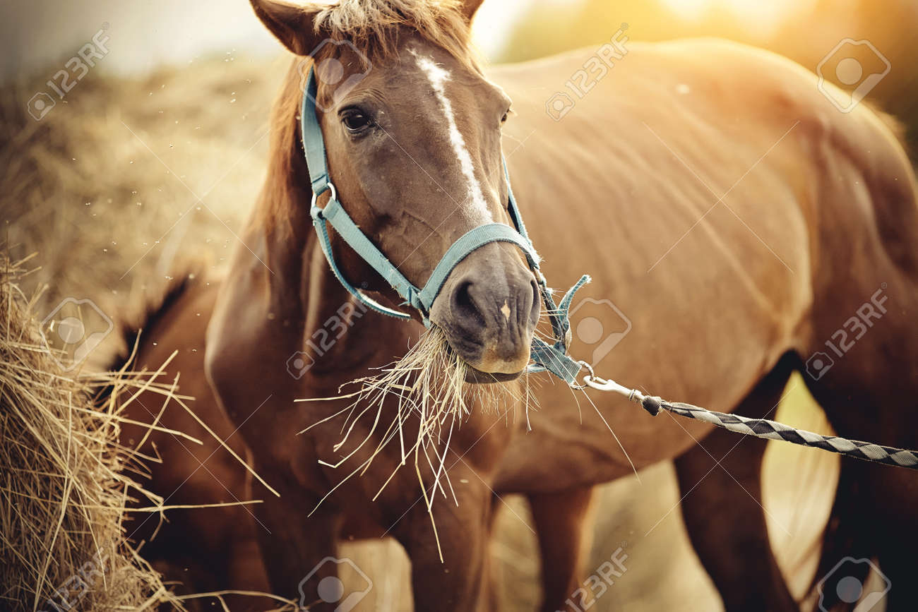 Red mare with a white groove on his forehead in a halter eating hay. - 155123626