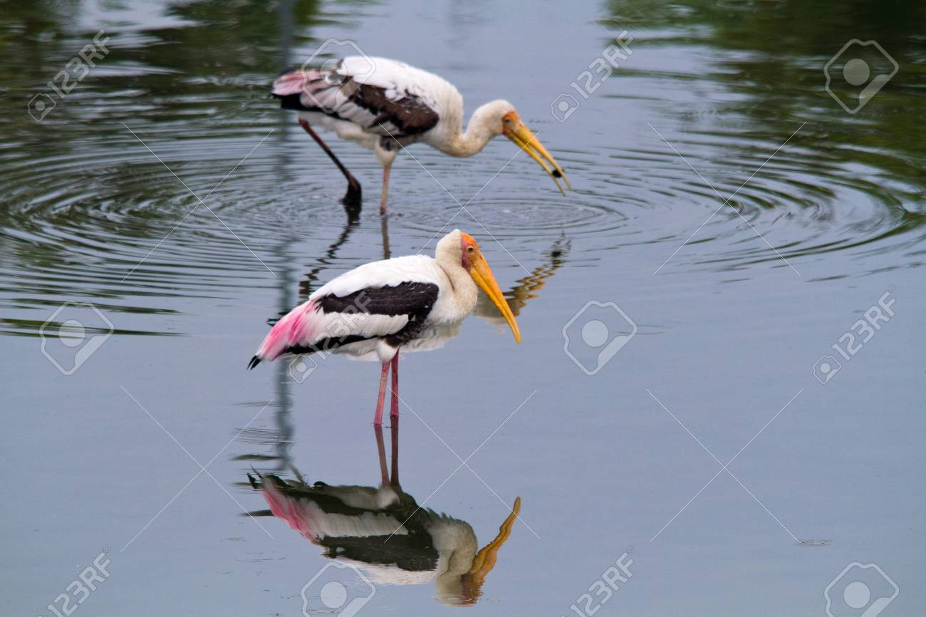 two storks fishing in landscape Stock Photo - 9339400