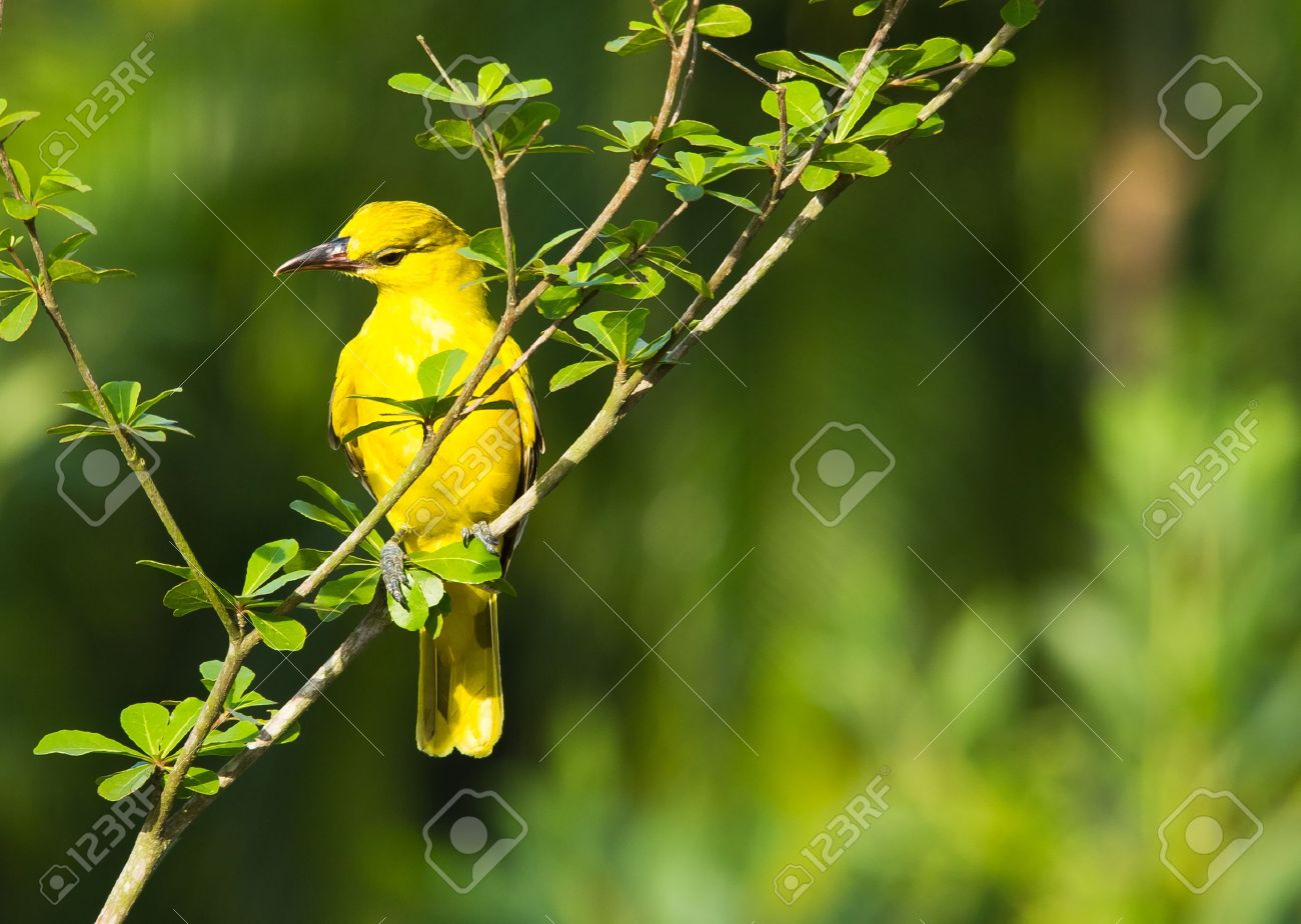 Black Naped Oriole Bird Looking For Food In The Morning Sun Stock
