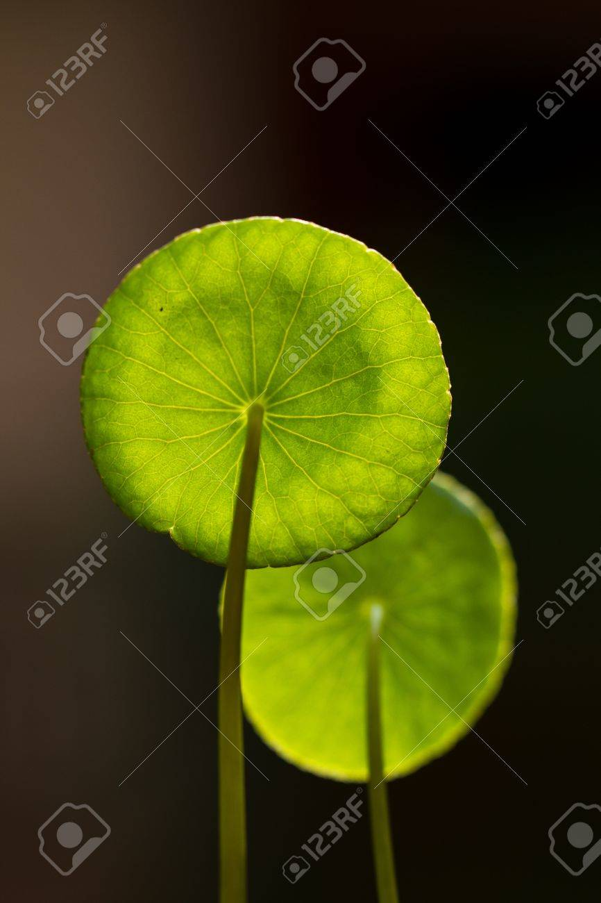 Centella asiatica leaves under the bright morning sun isolated with dark background Stock Photo - 10619138