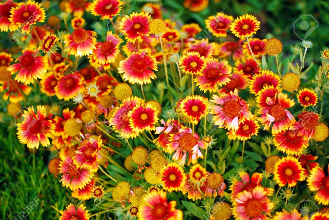 Banque d\u0027images , Très jolies fleurs jaunes oranges jardin gaillardes.