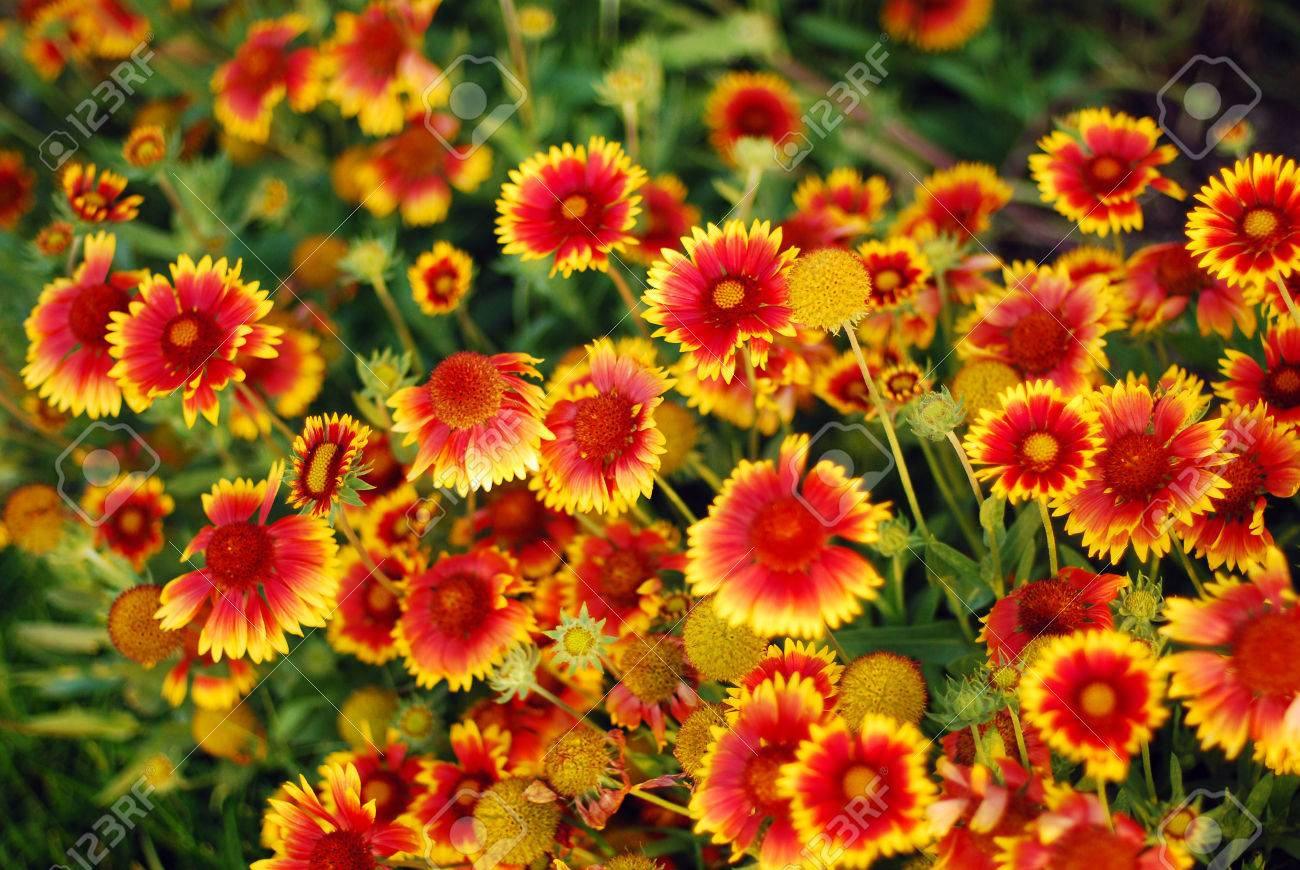 very pretty orange yellow garden flowers gaillardias. stock photo