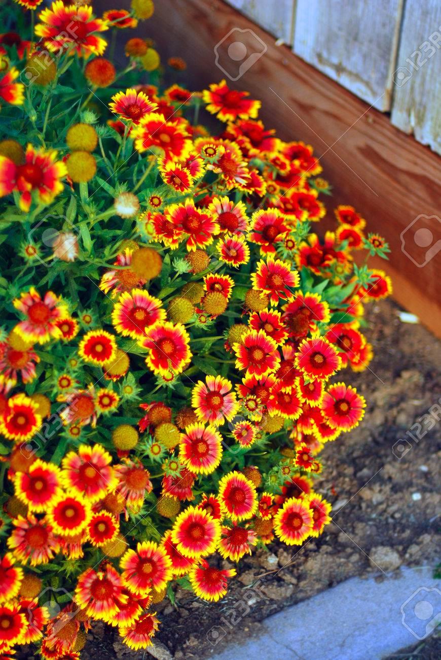 Very Pretty Orange Yellow Garden Flowers Gaillardias Stock Photo
