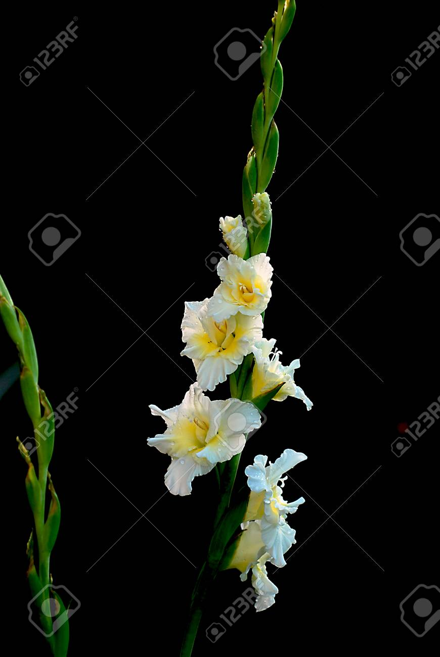Beautiful fresh white gladiolus flower in the garden stock photo beautiful fresh white gladiolus flower in the garden stock photo 29227039 mightylinksfo
