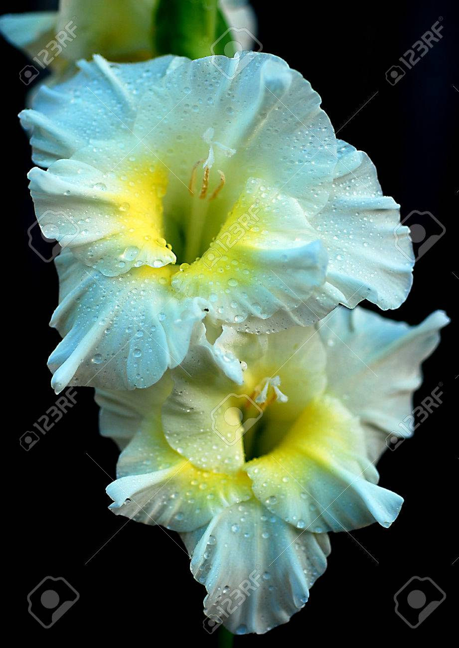 Beautiful fresh white gladiolus flower in the garden stock photo beautiful fresh white gladiolus flower in the garden stock photo 29224949 mightylinksfo