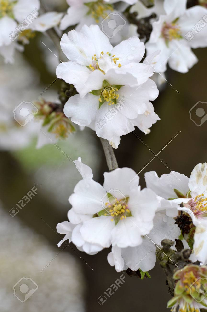 Almond Blossoms Beautiful Trees With White Flowers In Spring Stock