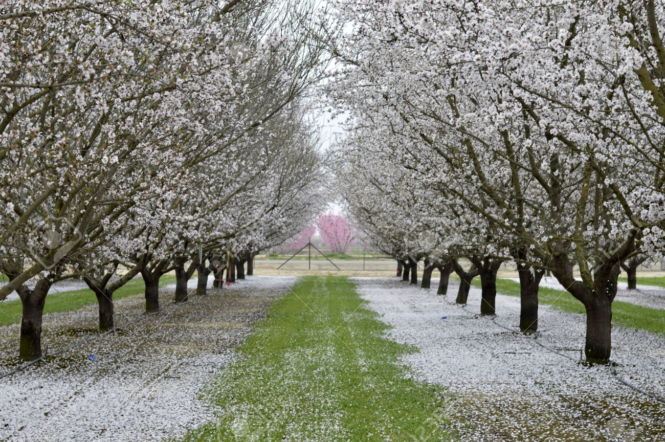 Almond blossoms beautiful trees with white flowers in spring stock almond blossoms beautiful trees with white flowers in spring on the field stock photo mightylinksfo Gallery