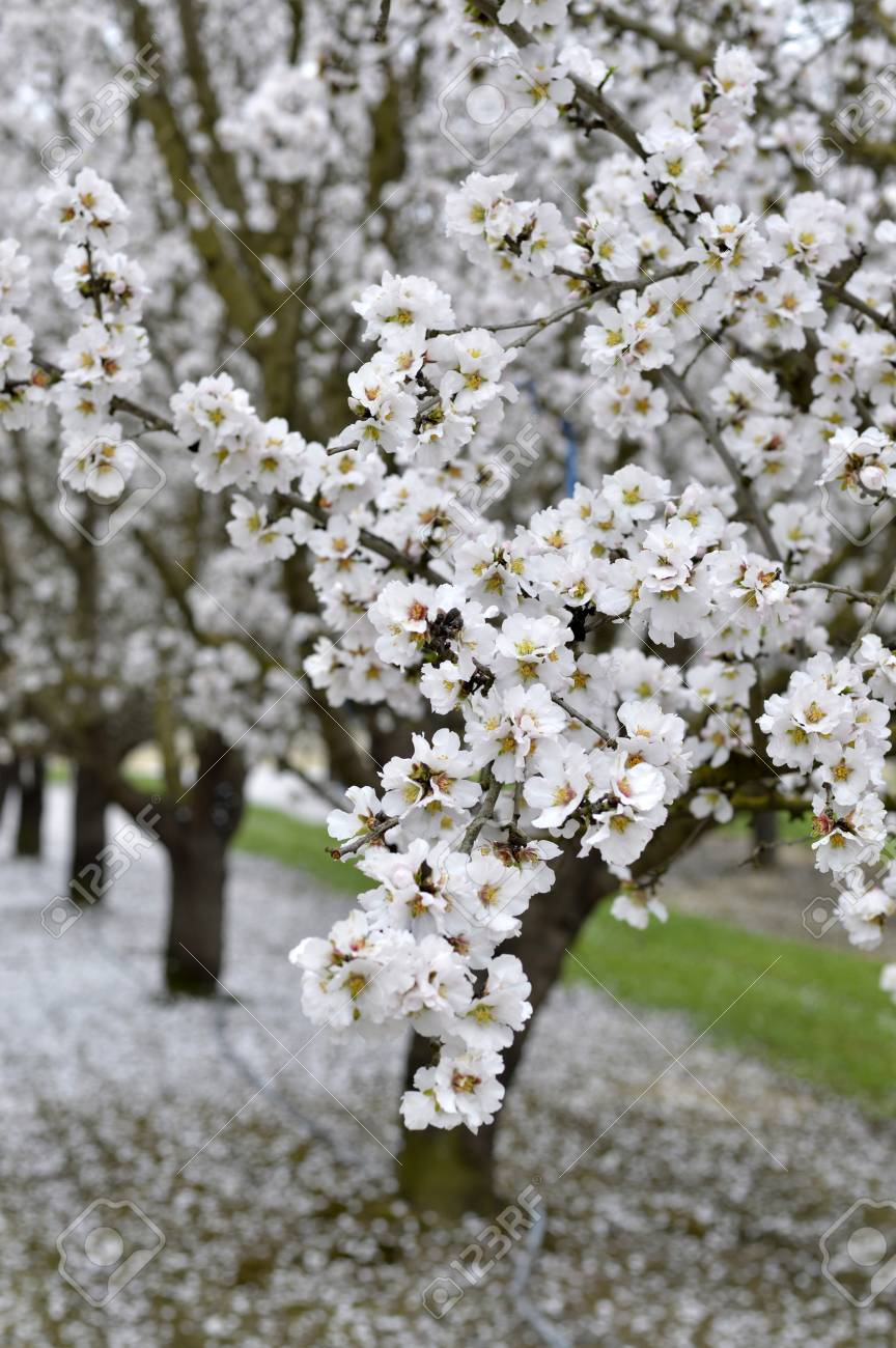 Almond Blossoms Beautiful Trees With White Flowers In Spring