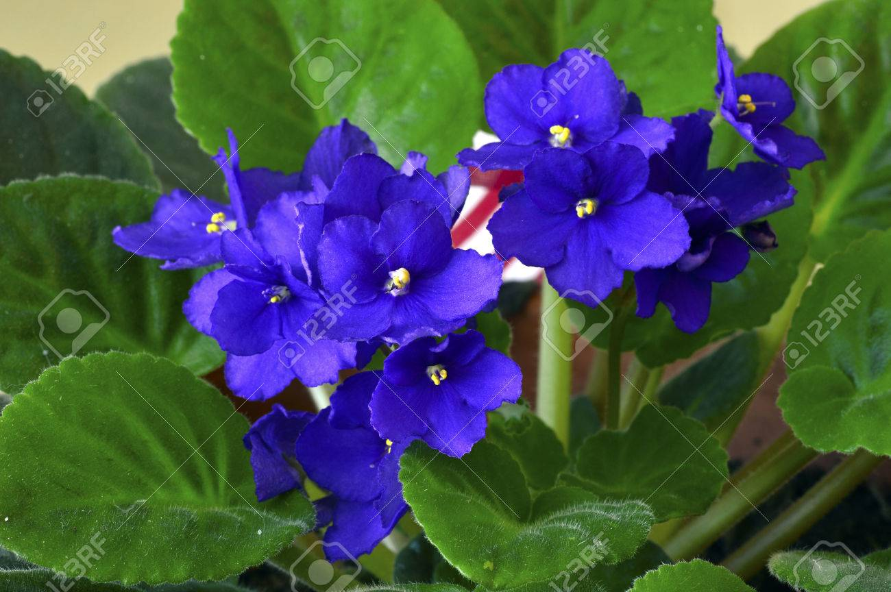 African Violet In A Pot With Beautiful Purple Flowers Stock Photo