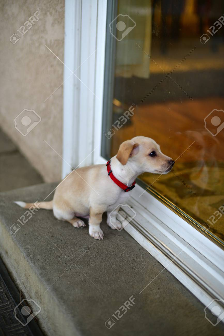A little puppy sitting at the door terrier mix Stock Photo - 72557886 & A Little Puppy Sitting At The Door Terrier Mix Stock Photo Picture ...