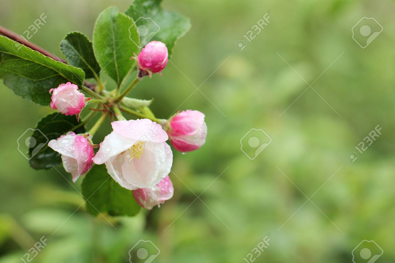 Apple Branch With Flowering White Pink Buds With Rain Drops Stock