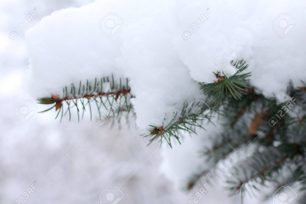 Christmas Tree Branches With Snow Caps Winter Cover Royalty Vrije