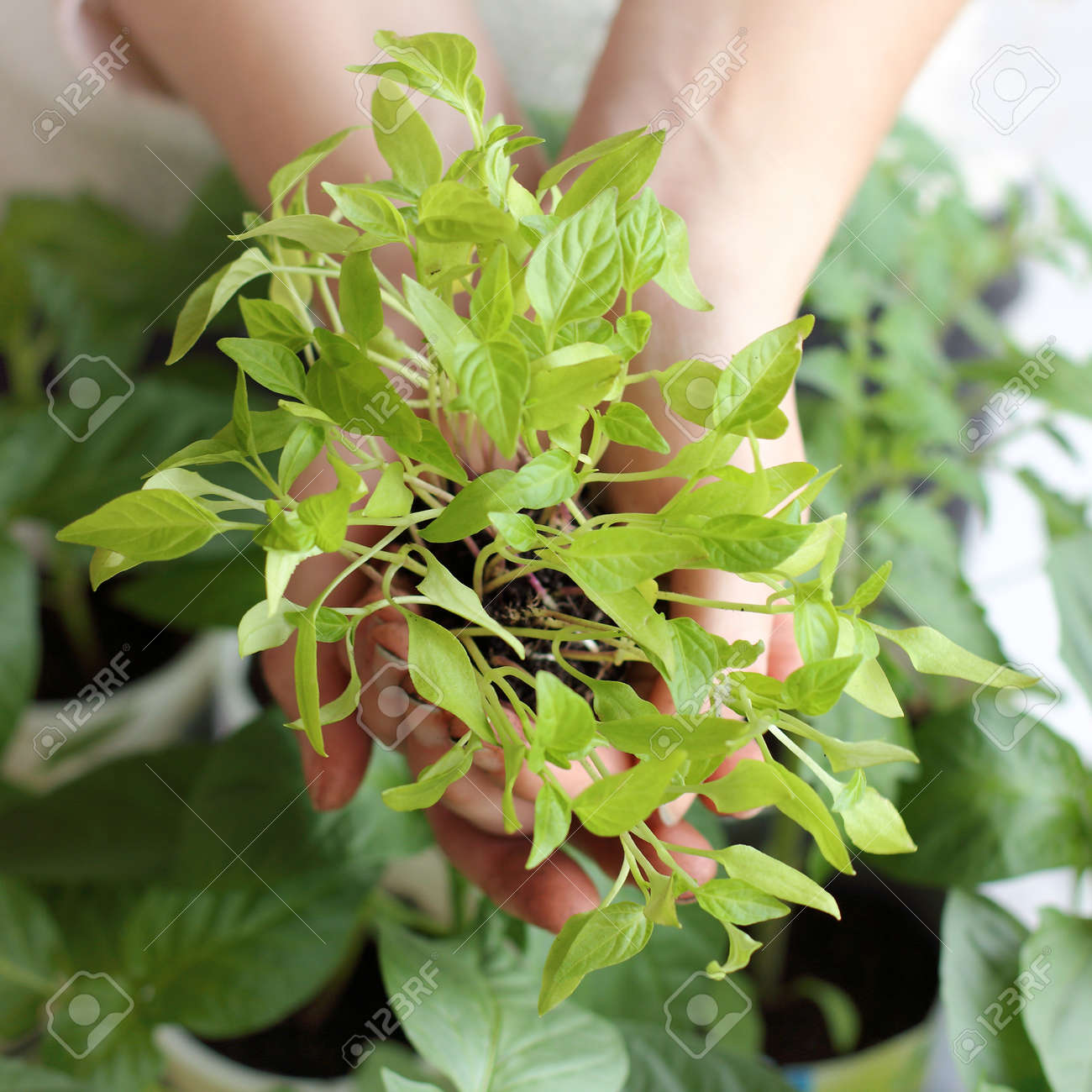 green pepper sprouts in the hands of a top view. new crop seedlings - 172472061