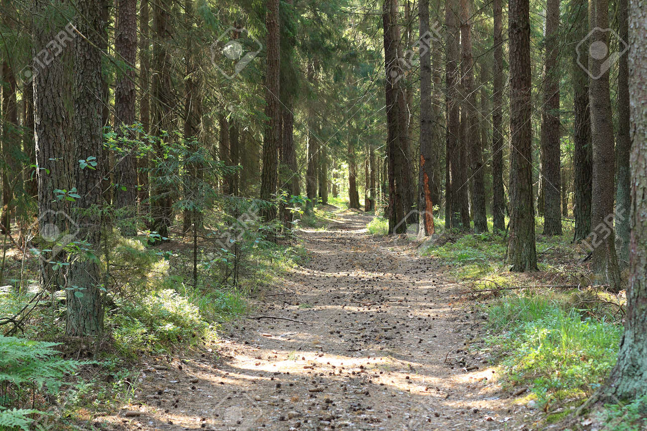 road dotted with cones among many trees. walk in the summer forest - 173004554