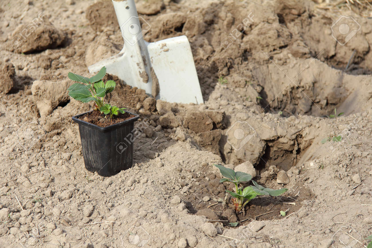 strawberry bushes in a pot and in the ground against the background of a shovel in the garden. planting seedlings in the garden - 173003479