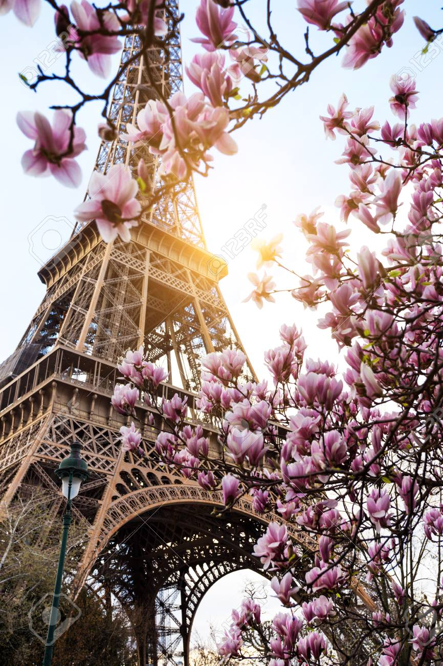 Blossoming magnolia against the background of the Eiffel Tower - 114467811
