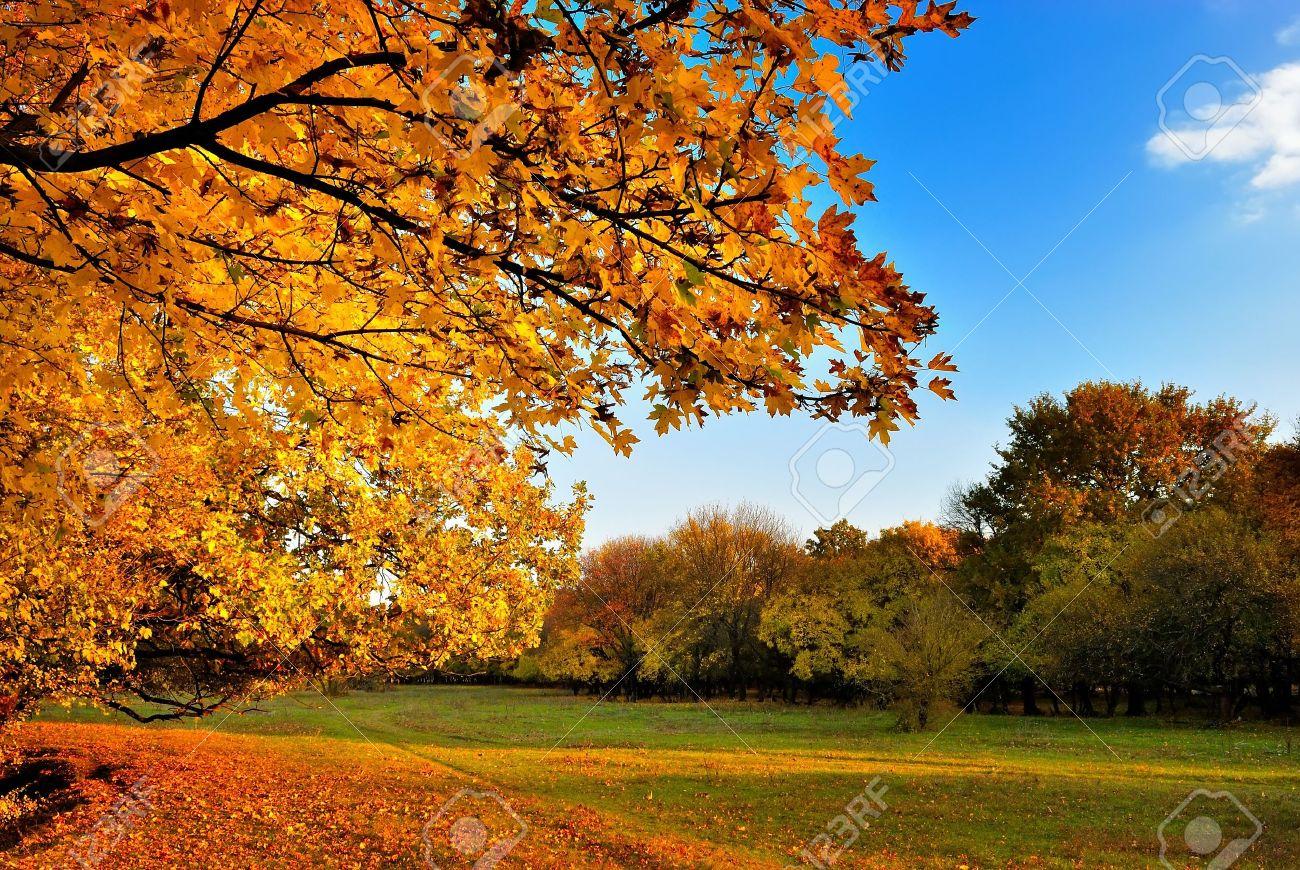 Autumn maple tree on blue sky background Stock Photo - 14295678